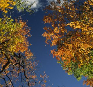 Sugar Maple trees, fall, Ontario, Canada, view from below
