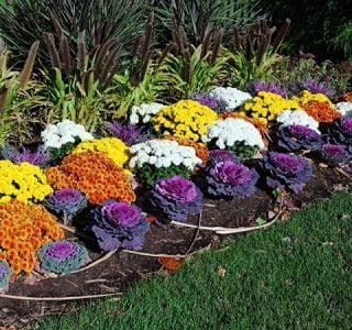 Colorful flower garden with ornamental kale, chrysanthemum, fox tail grass