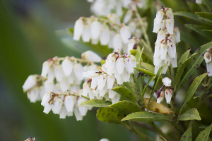 know your plants Angelonia