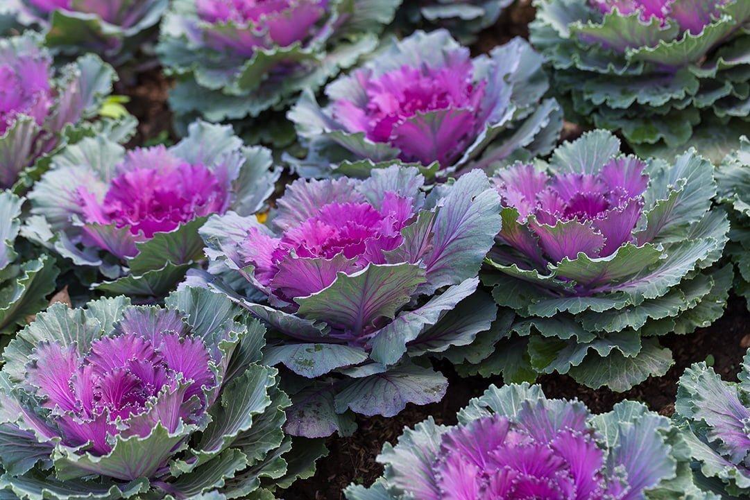 Ornamental Kale