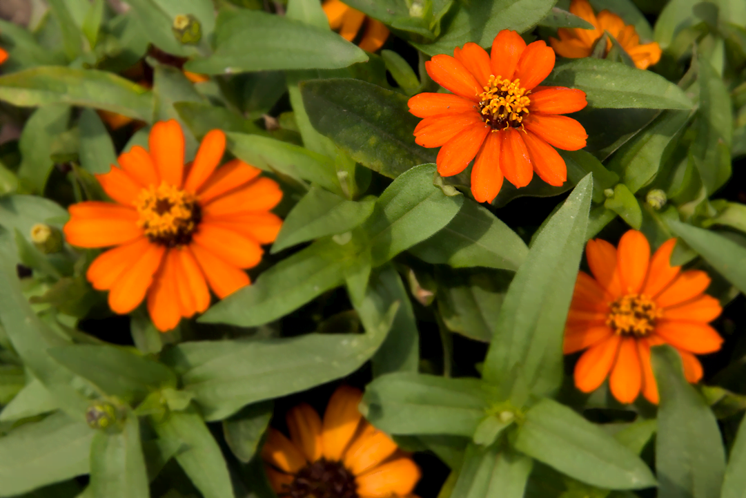 know your plants ProfusionZinnias