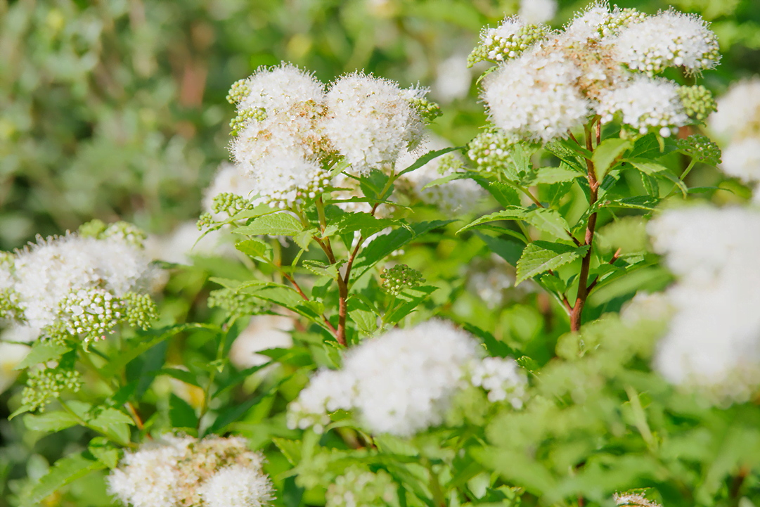 know your plants Spirea