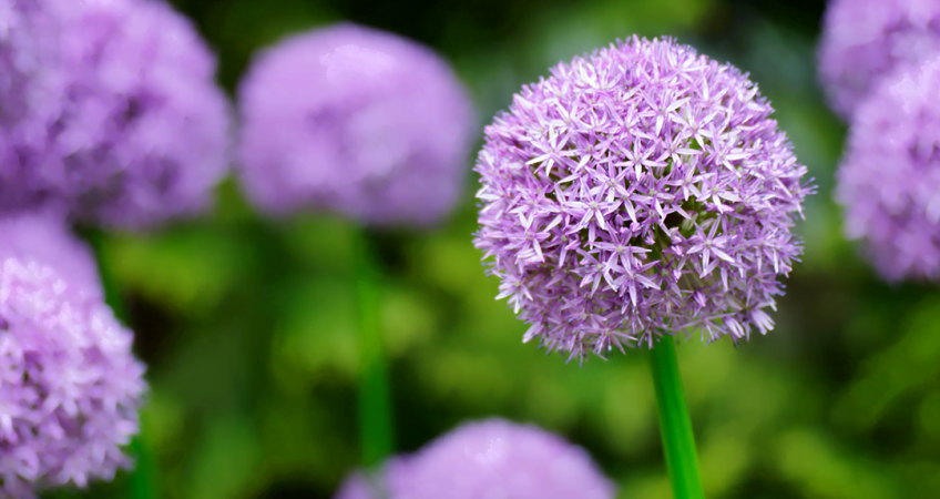 know your plants Allium