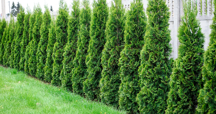 know your plants Arborvitae
