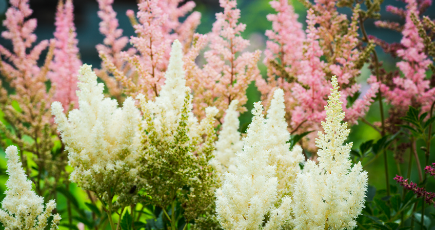 know your plants Astilbe