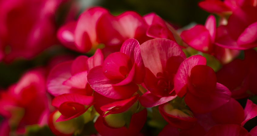 know your plants Begonia