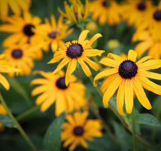 know your plants Black Eyed Susan