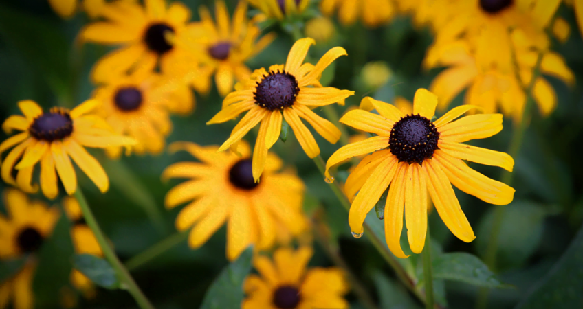 know your plants BlackEyedSusan