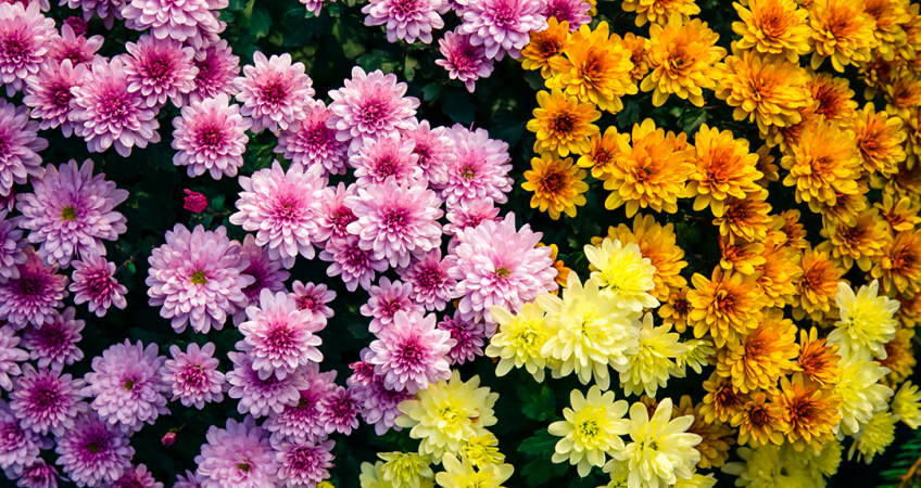 know your plants Chrysanthemum