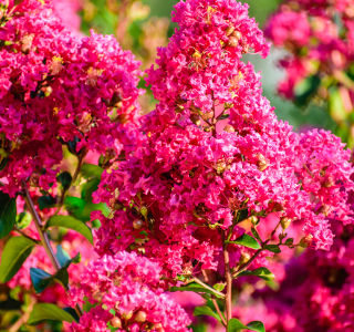 know your plants Crapemyrtle