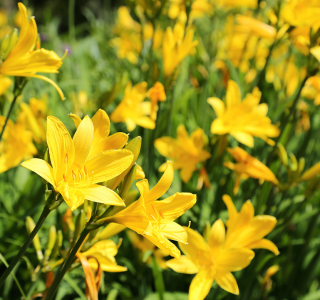 know your plants Daylily