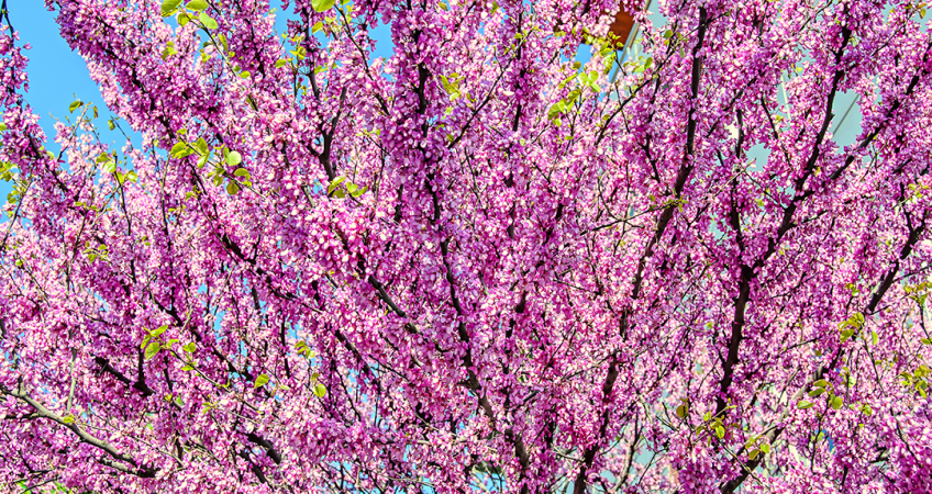 know your plants ForestPansyRedbud