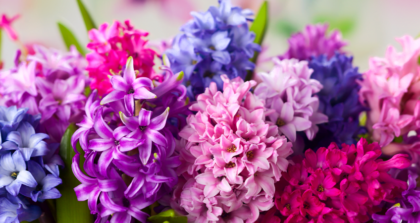 know your plants Hyacinth
