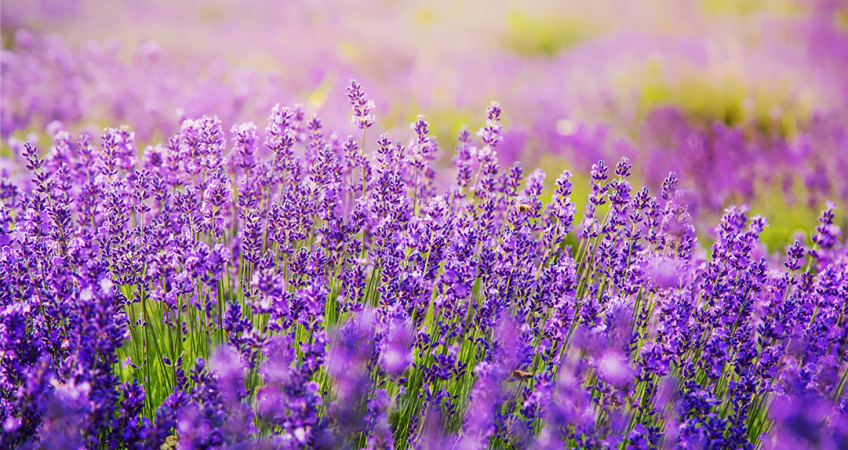 know your plants Lavender