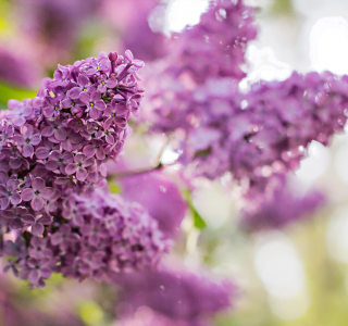 know your plants Lilac