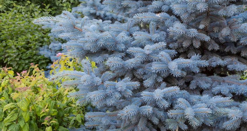 know your plants MontegomerySpruce