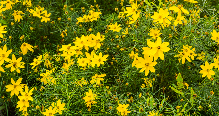 know your plants MoonbeamCoreopsis