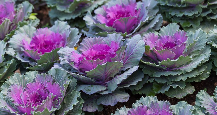 know your plants OrnamentalKale