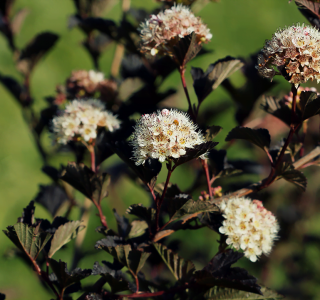 know your plants Physocarpus