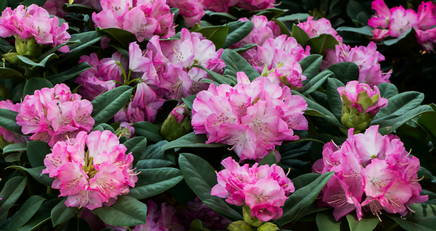 know your plants Rhododendron