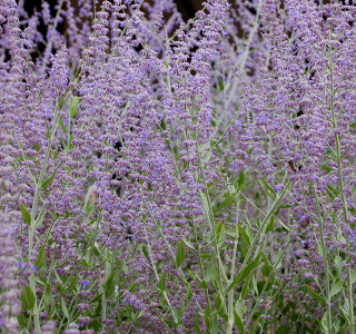 know your plants RussianSage