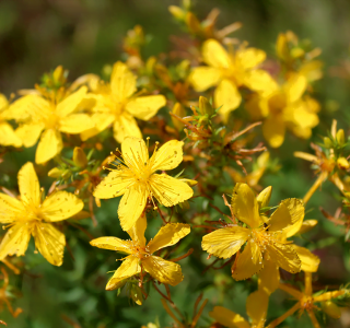 know your plants StJohnsWort