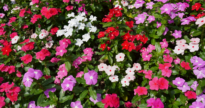 know your plants Sunpatiens