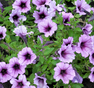 know your plants WavePetunia