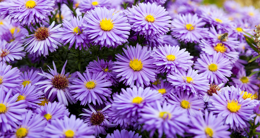know your plants aster