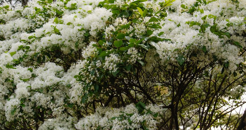know your plants fringe tree