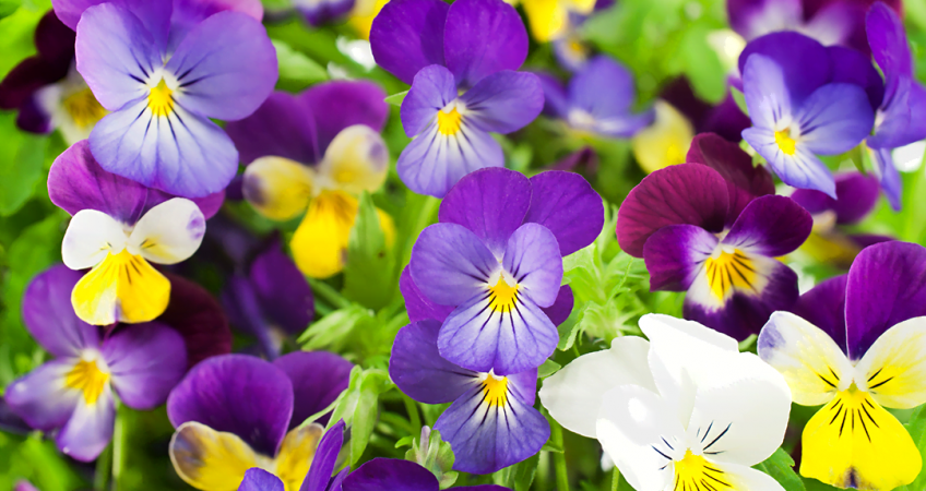know your plants pansy 1