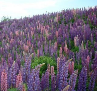 lupines3